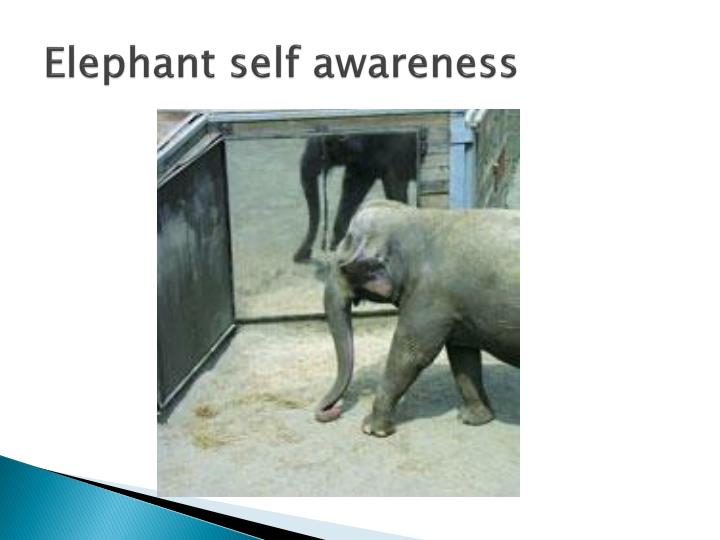 Elephant self awareness