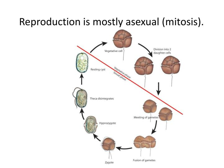 Reproduction is mostly asexual (mitosis).