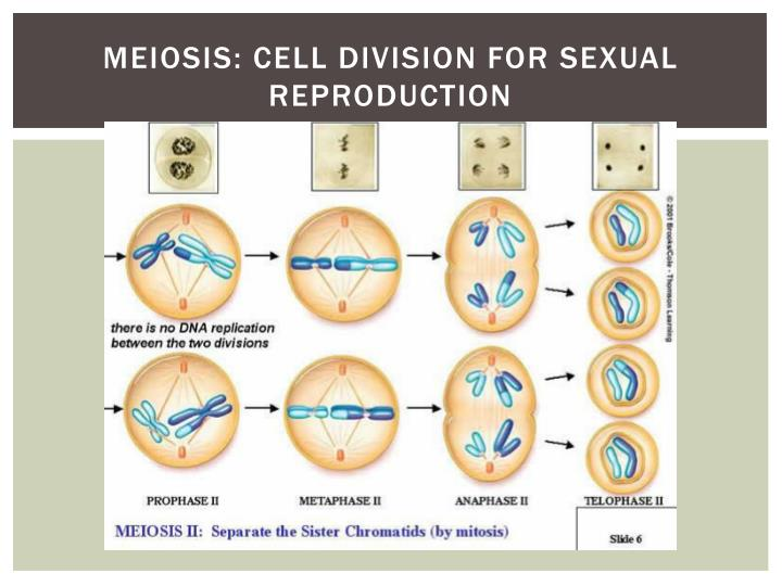 Meiosis: Cell division for sexual reproduction