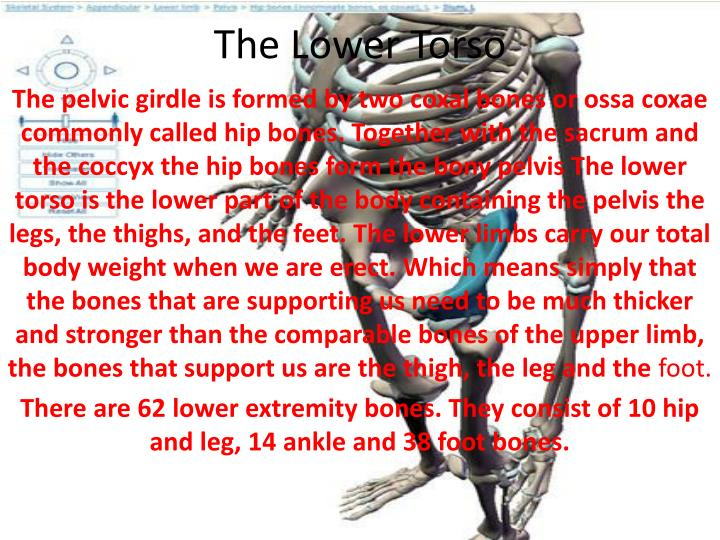 the lower torso n.