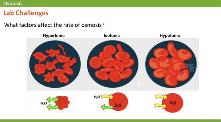 rate of osmosis Pressure directly affects the rate of osmosis the higher the pressure on one side of the membrane, the more rapidly osmosis takes place to the other the same is true for concentration gradient, the lower the concentration of solute in water, the faster it moves through a membrane.