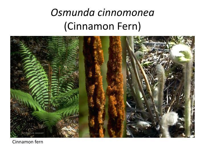 Osmunda cinnomonea cinnamon fern