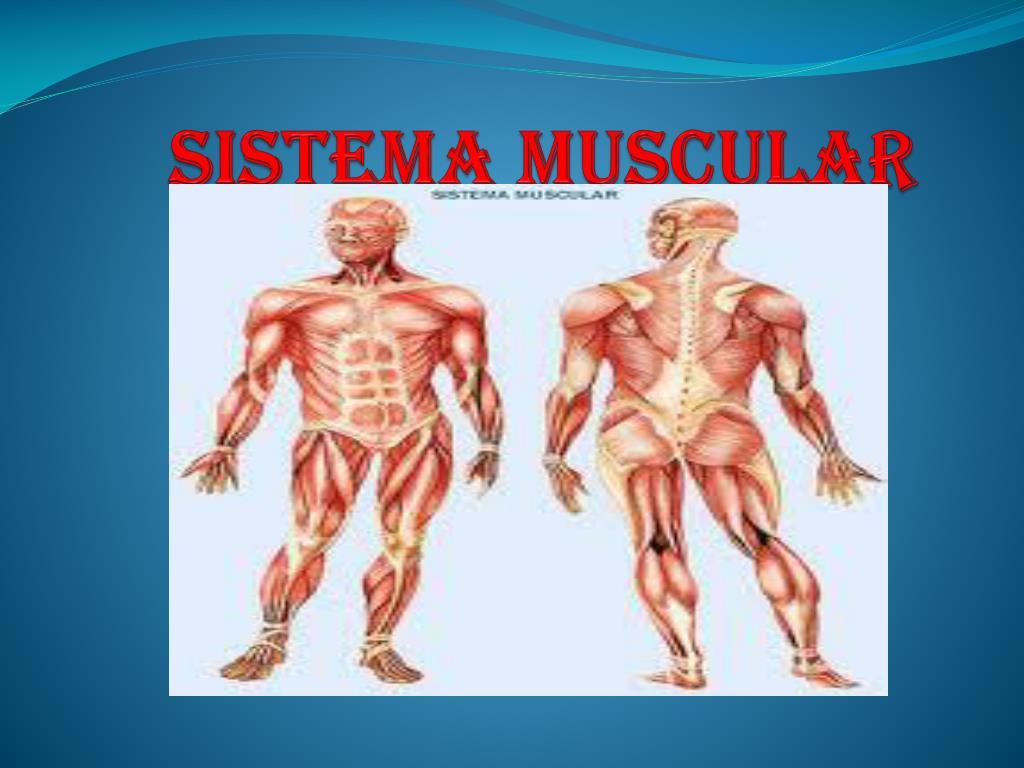 PPT - Sistema muscular PowerPoint Presentation - ID:1974619