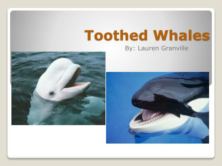 toothed whales n.