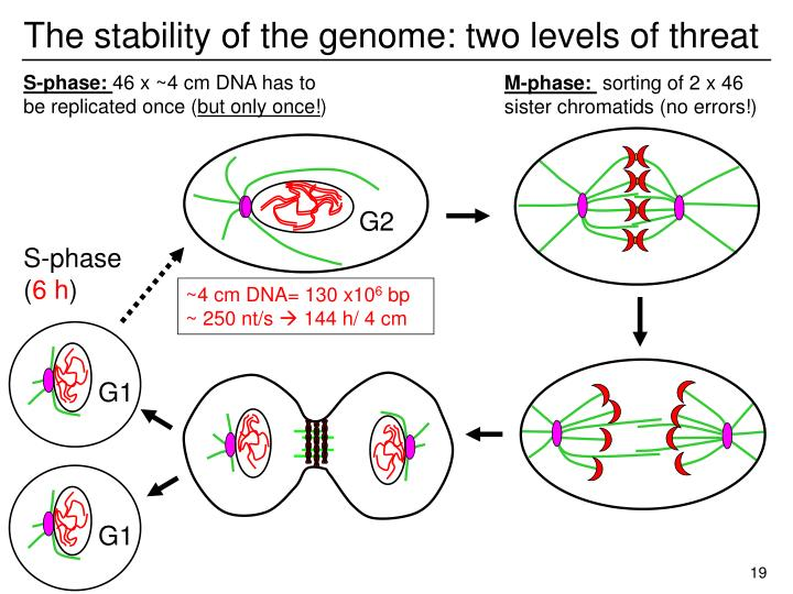 The stability of the genome: two