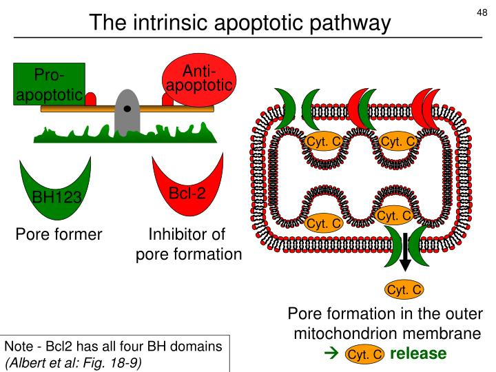 The intrinsic apoptotic pathway