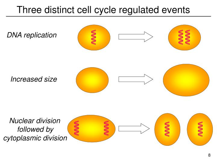 Three distinct cell cycle regulated events