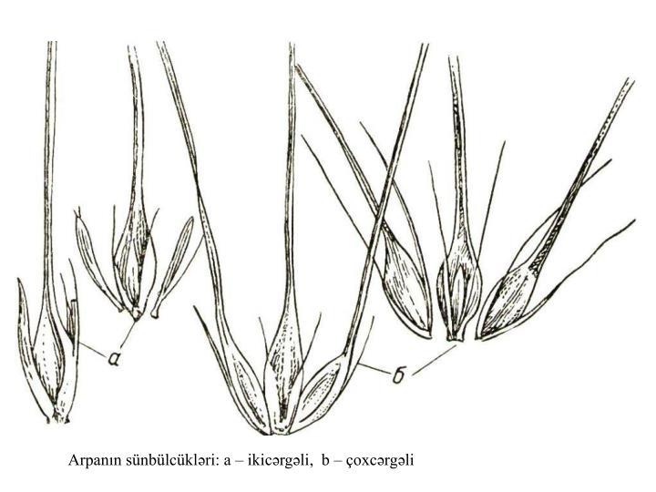 Arpanın sünbülcükləri: a – ikicərgəli,  b – çoxcərgəli