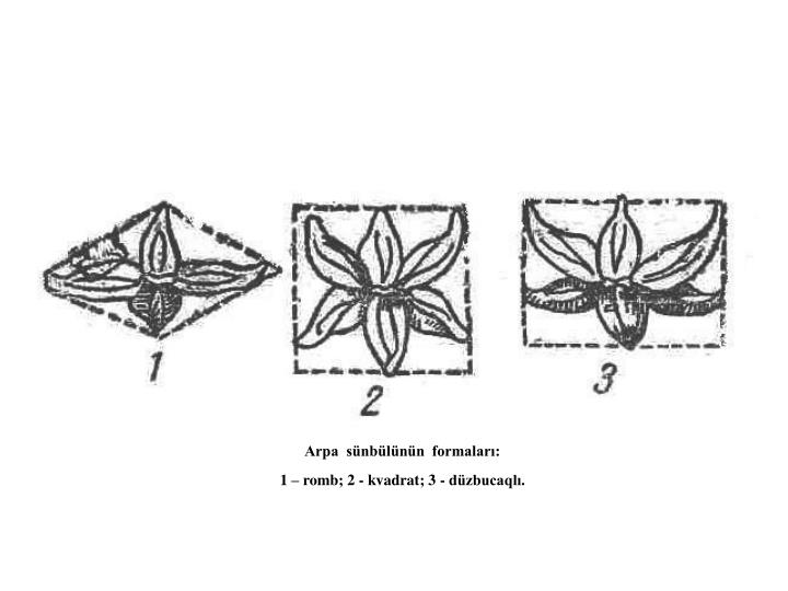 Arpa  sünbülünün  formaları: