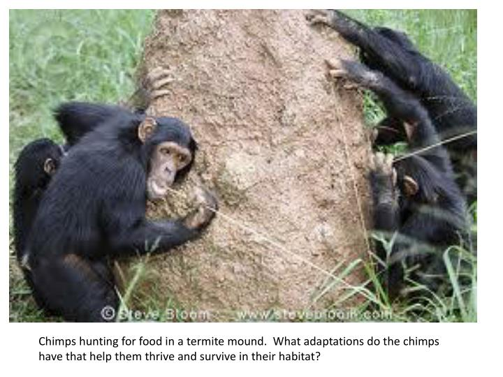 Chimps hunting for food in a termite mound.  What adaptations do the chimps have that help them thri...