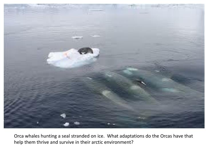 Orca whales hunting a seal stranded on ice.  What adaptations do the Orcas have that help them thriv...