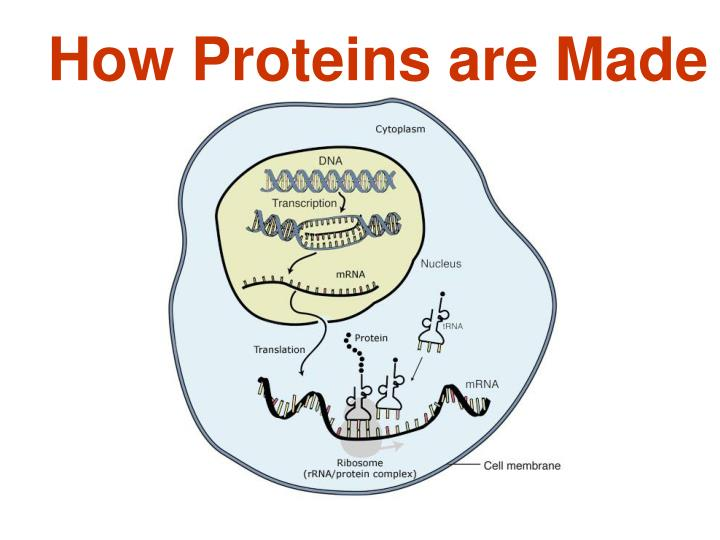 how proteins are made n.