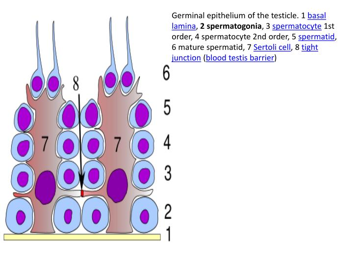 Ppt gametogenesis powerpoint presentation id1977735 germinal epithelium of the testicle 1 basal lamina 2 spermatogonia ccuart Image collections
