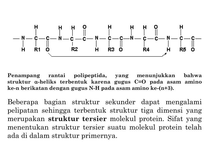 Penampang rantai polipeptida, yang menunjukkan bahwa                       struktur