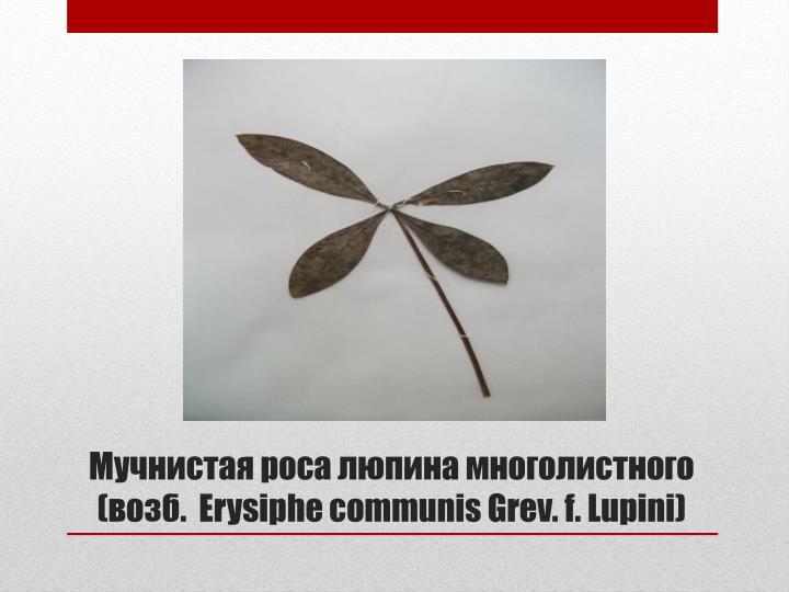 Мучнистая роса люпина многолистного (возб.  Erysiphe communis Grev. f.Lupini)