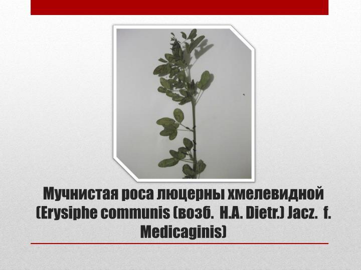 Мучнистая роса люцерны хмелевидной (Erysiphe communis (возб.  H.A. Dietr.) Jacz. f. Medicaginis)