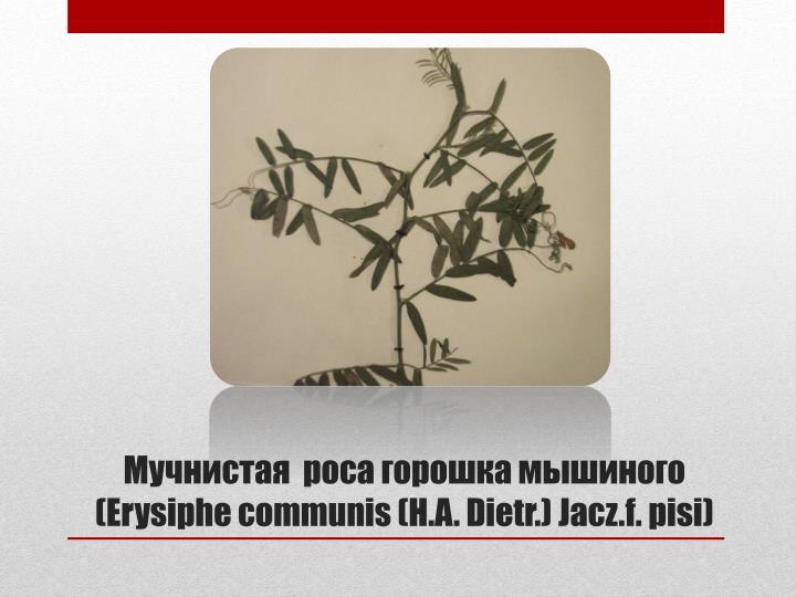 Мучнистая  роса горошка мышиного (Erysiphe communis (H.A. Dietr.) Jacz.