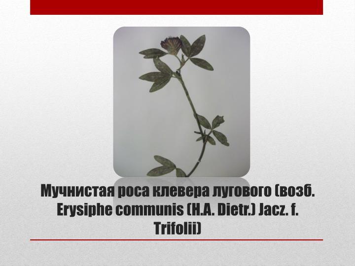 Мучнистая роса клевера лугового (возб.  Erysiphe communis(H.A. Dietr.) Jacz.f. Trifolii)