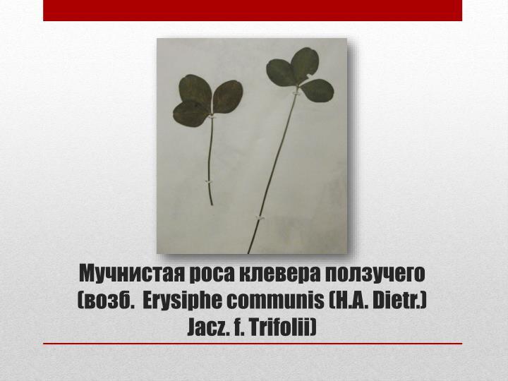 Мучнистая роса клевера ползучего  (возб.  Erysiphe communis(H.A. Dietr.) Jacz.f. Trifolii)