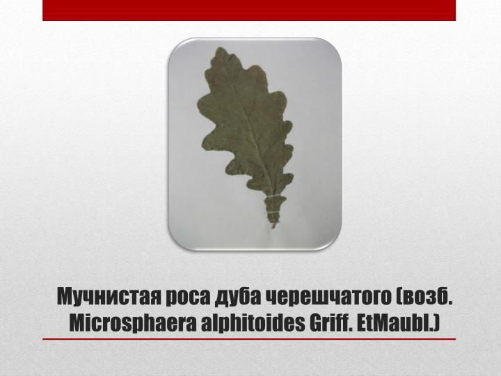 Мучнистая роса дуба черешчатого (возб. Microsphaera alphitoides