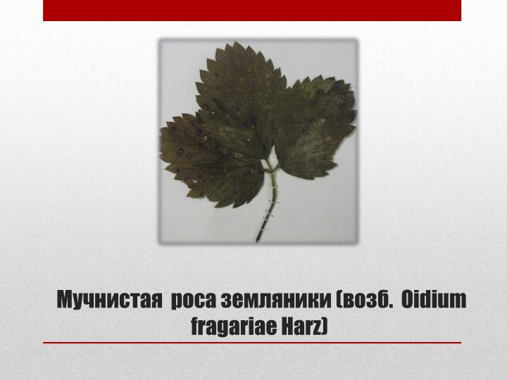 Мучнистая  роса земляники (возб.  Oidium fragariae Harz)