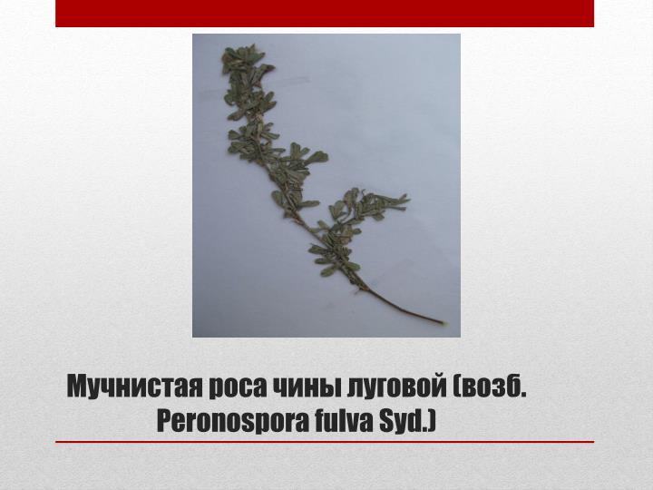 Мучнистая роса чины луговой (возб.  Peronospora fulva Syd.)