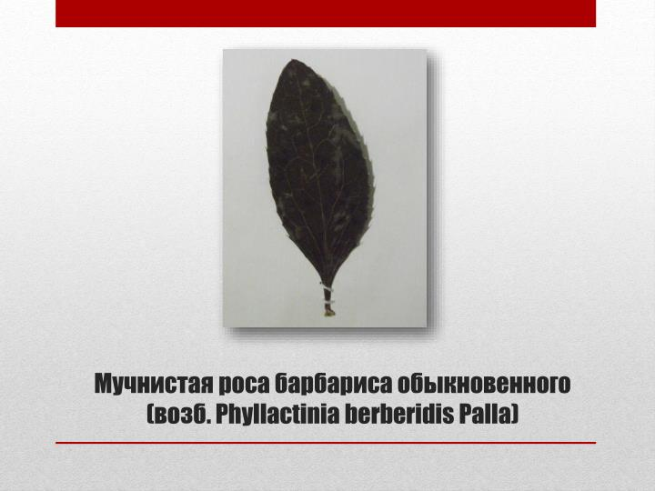 Phyllactinia berberidis palla