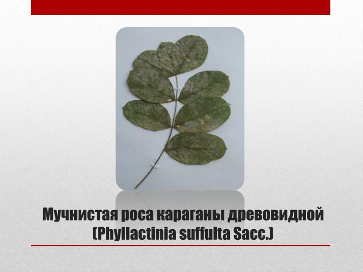 Мучнистая роса караганы древовидной (