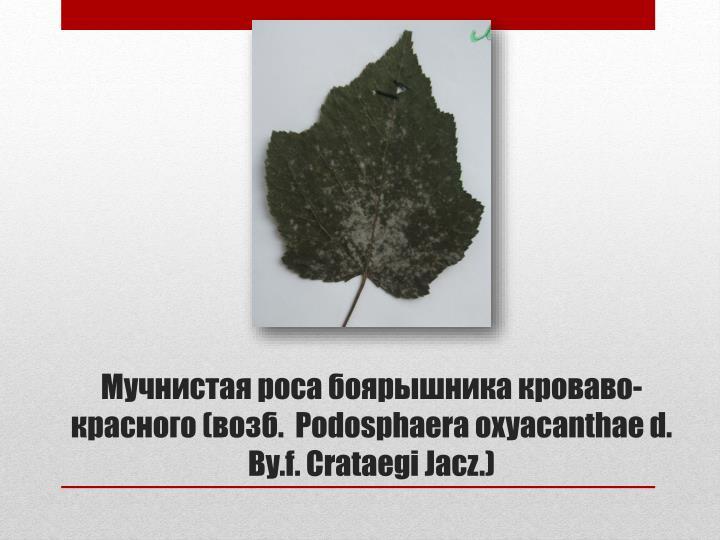 Мучнистая роса боярышника кроваво-красного (возб.  Podosphaeraoxyacanthae