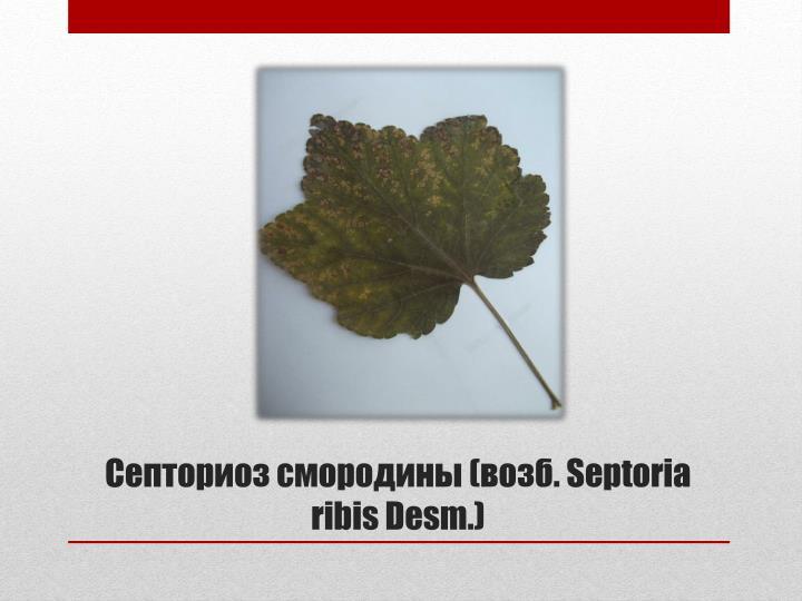 Септориоз смородины (возб.