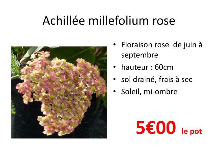 Achill e millefolium rose