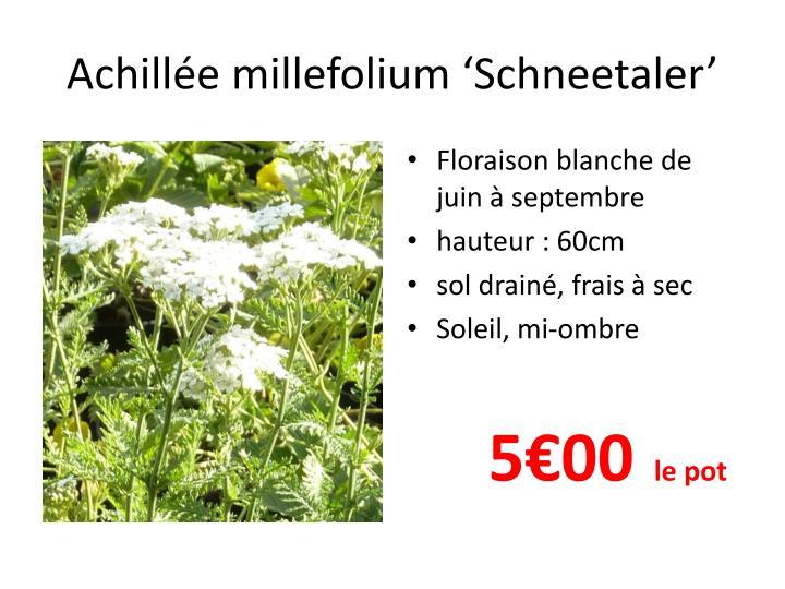 Achill e millefolium schneetaler