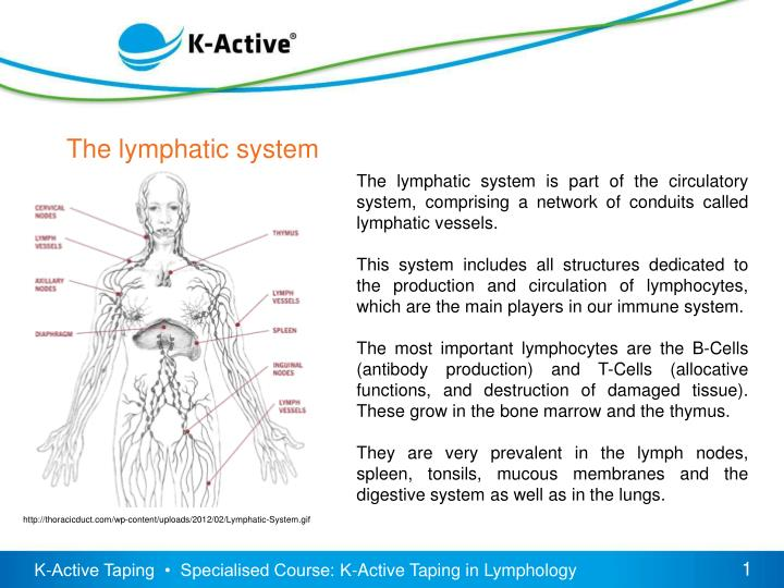 the lymphatic system essay Chapter 21: the lymphatic system and immunity answers to case questions 1 marlene has had lymph nodes removed from her armpit why would removal of lymph nodes cause swelling in her hand and arm.