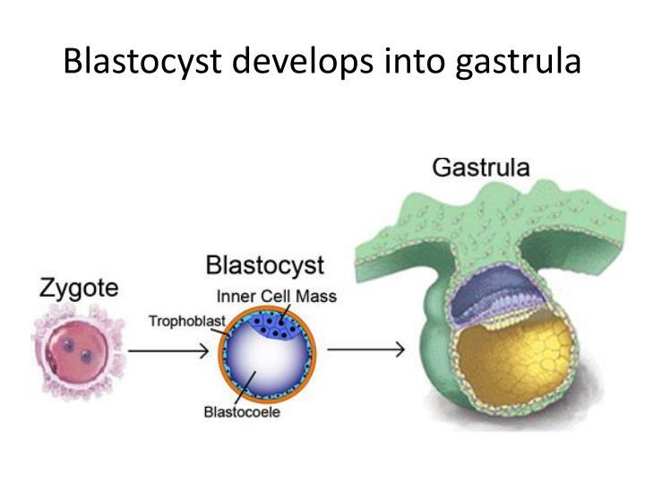Blastocyst develops into gastrula