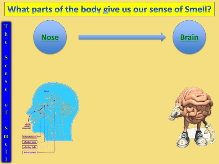 What parts of the body give us our sense of Smell?