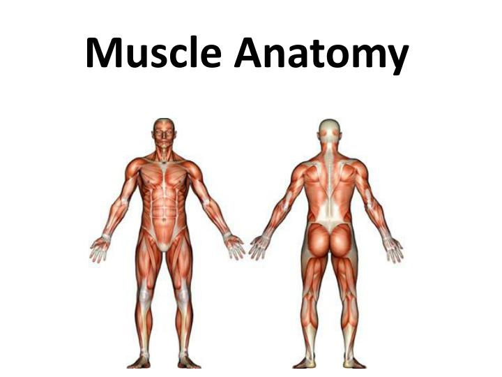 Ppt Muscle Anatomy Powerpoint Presentation Id1982562