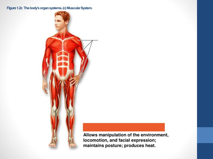 Figure 1.2cThe body's organ systems. (c) Muscular System.