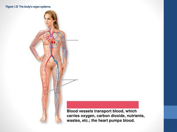 Figure 1.2fThe body's organ systems.