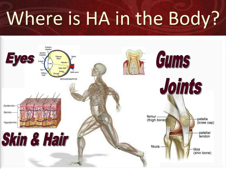 Where is HA in the Body?