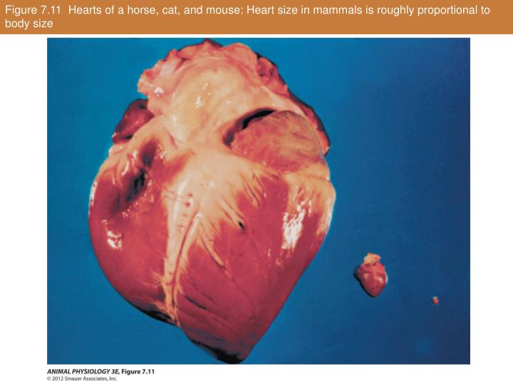Figure 7.11  Hearts of a horse, cat, and mouse: Heart size in mammals is roughly proportional to body size