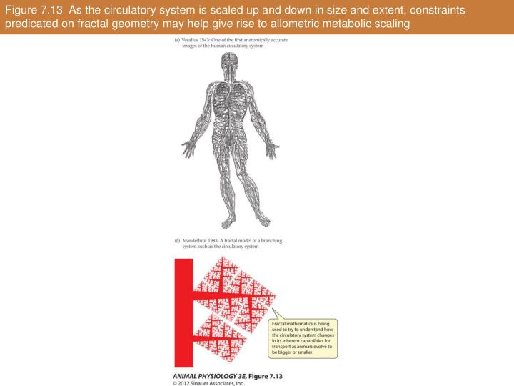 Figure 7.13  As the circulatory system is scaled up and down in size and extent, constraints predicated on fractal geometry may help give rise to allometric metabolic scaling
