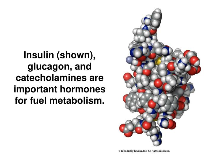 Insulin (shown), glucagon, and catecholamines are important hormones for fuel metabolism.