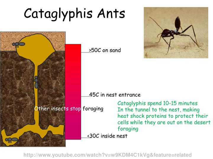 Cataglyphis