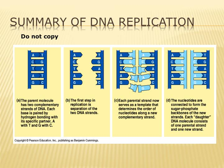 Ppt the process of making a copy of dna is called dna for Explain how dna serves as its own template during replication