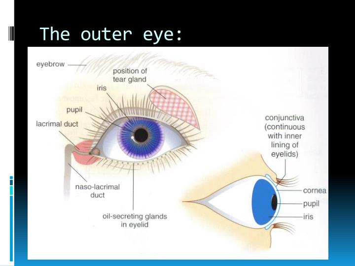 The outer eye