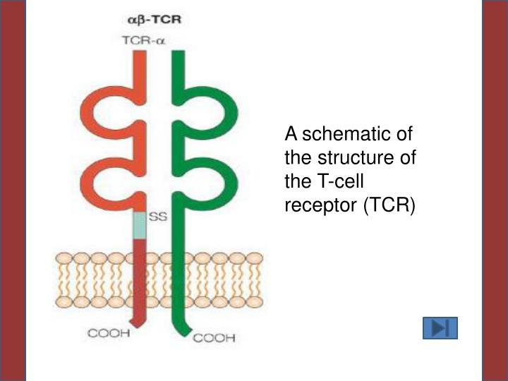 A schematic of the structure of the
