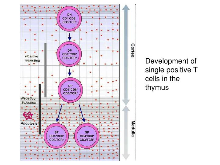 Development of single positive T cells in the thymus