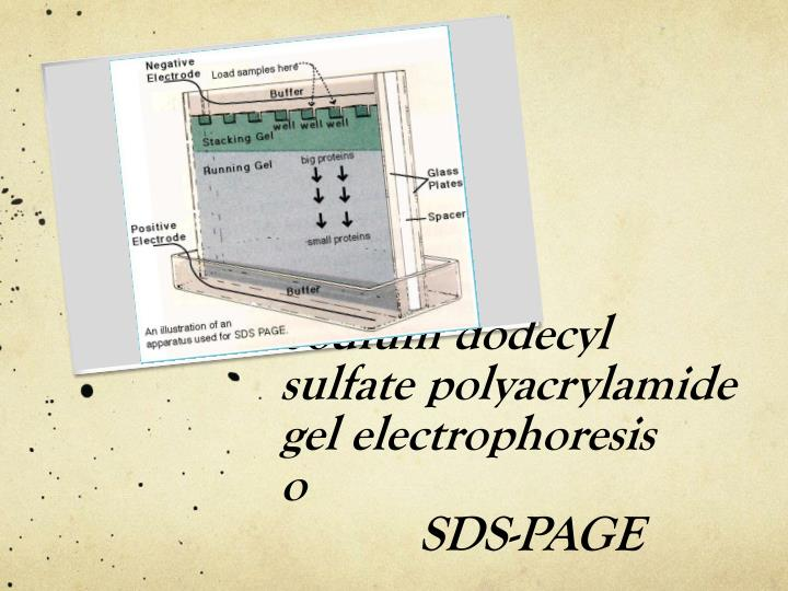 sds page sodium dodecyl sulfate polyacrylamide The most commonly used denaturant is sodium dodecyl sulfate (sds) sds is an amphipathic surfactant it denatures proteins by binding to the protein chain with its hydrocarbon tail, exposing normally buried regions and coating the protein chain with surfactant molecules.