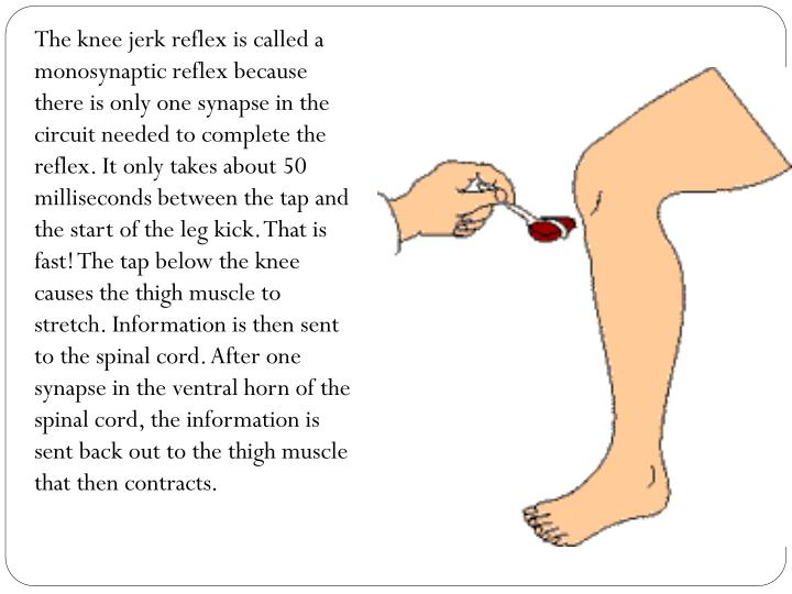 The knee jerk reflex is called a monosynaptic reflex because there is only one synapse in the circuit needed to complete the reflex. It only takes about 50 milliseconds between the tap and the start of the leg kick. That is fast! The tap below the knee causes the thigh muscle to stretch. Information is then sent to the spinal cord. After one synapse in the ventral horn of the spinal cord, the information is sent back out to the thigh muscle that then contracts.
