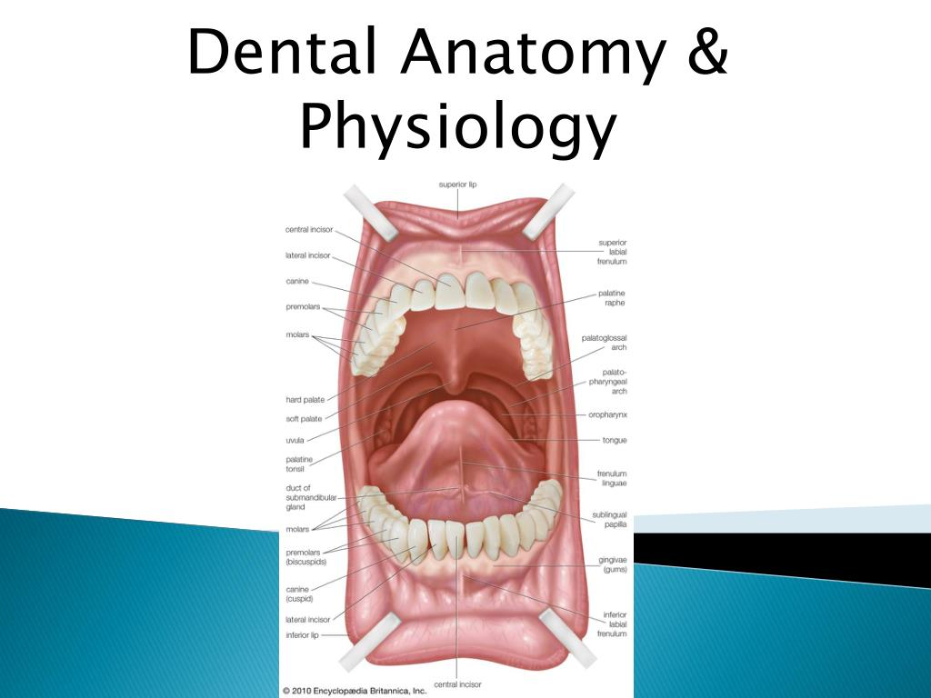 Ppt Dental Anatomy Physiology Powerpoint Presentation Id1995125